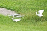 White Phase, Little Blue Heron and Snowy Egret
