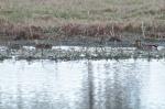 Mottled Ducks/Hybrid Mottled Duck