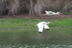 American White Ibises